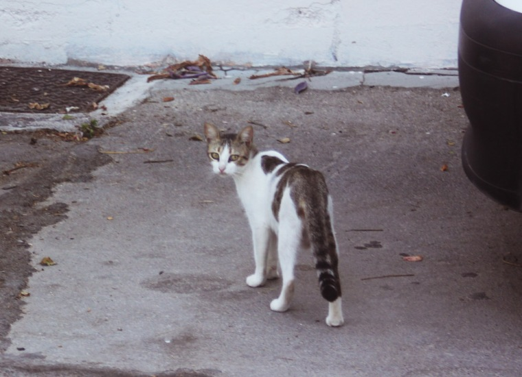 cat greece town rhodes wild feral stray white tabby hello