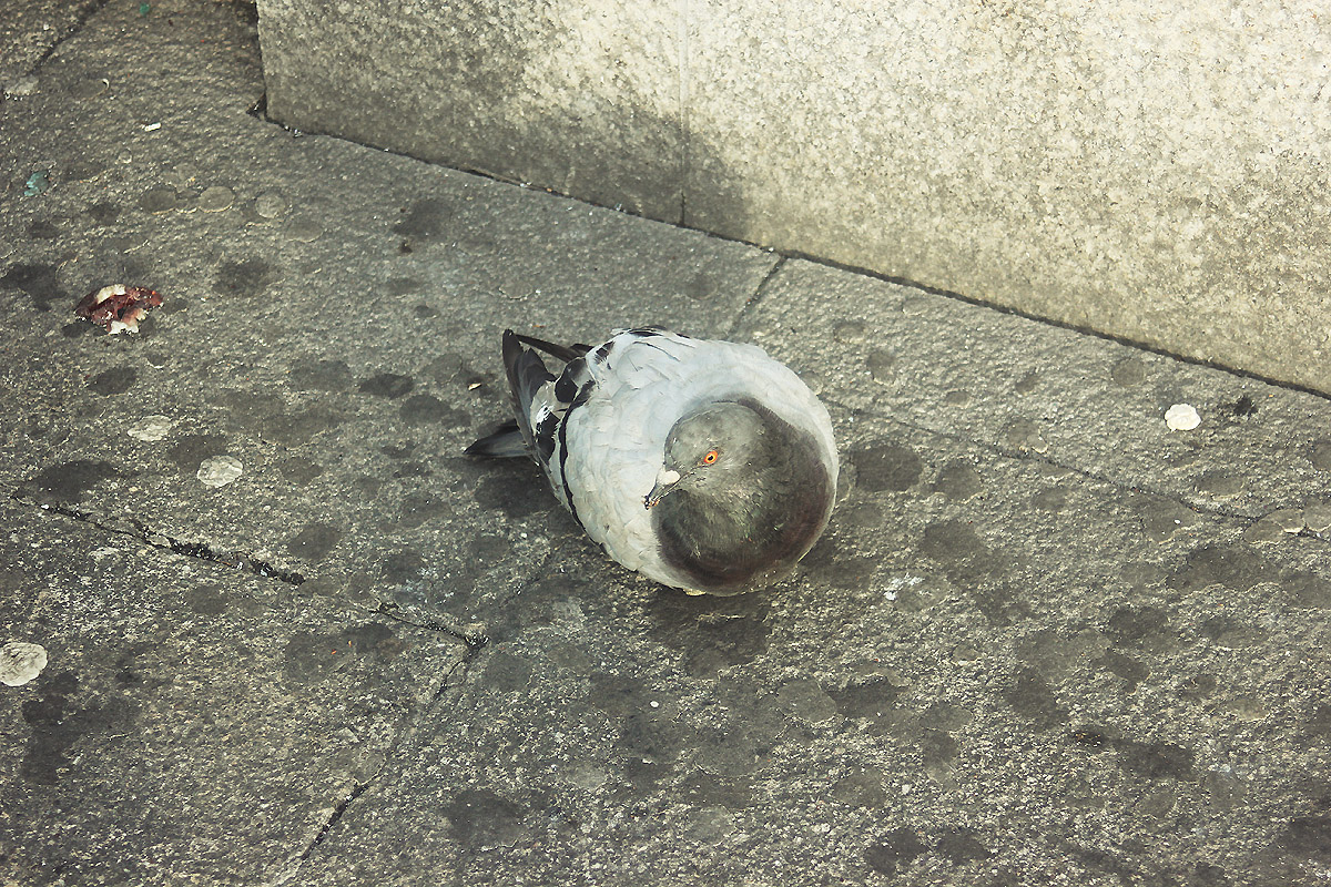pigeon pavement london pet cute bird grey sitting nesting nest