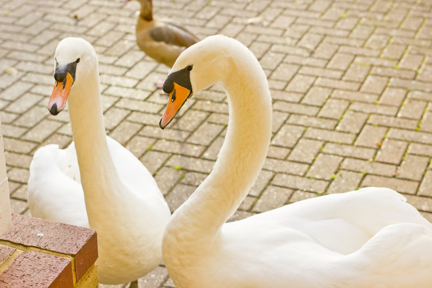 pair of mute swan royal white swan england uk surrey outside driveway bricks