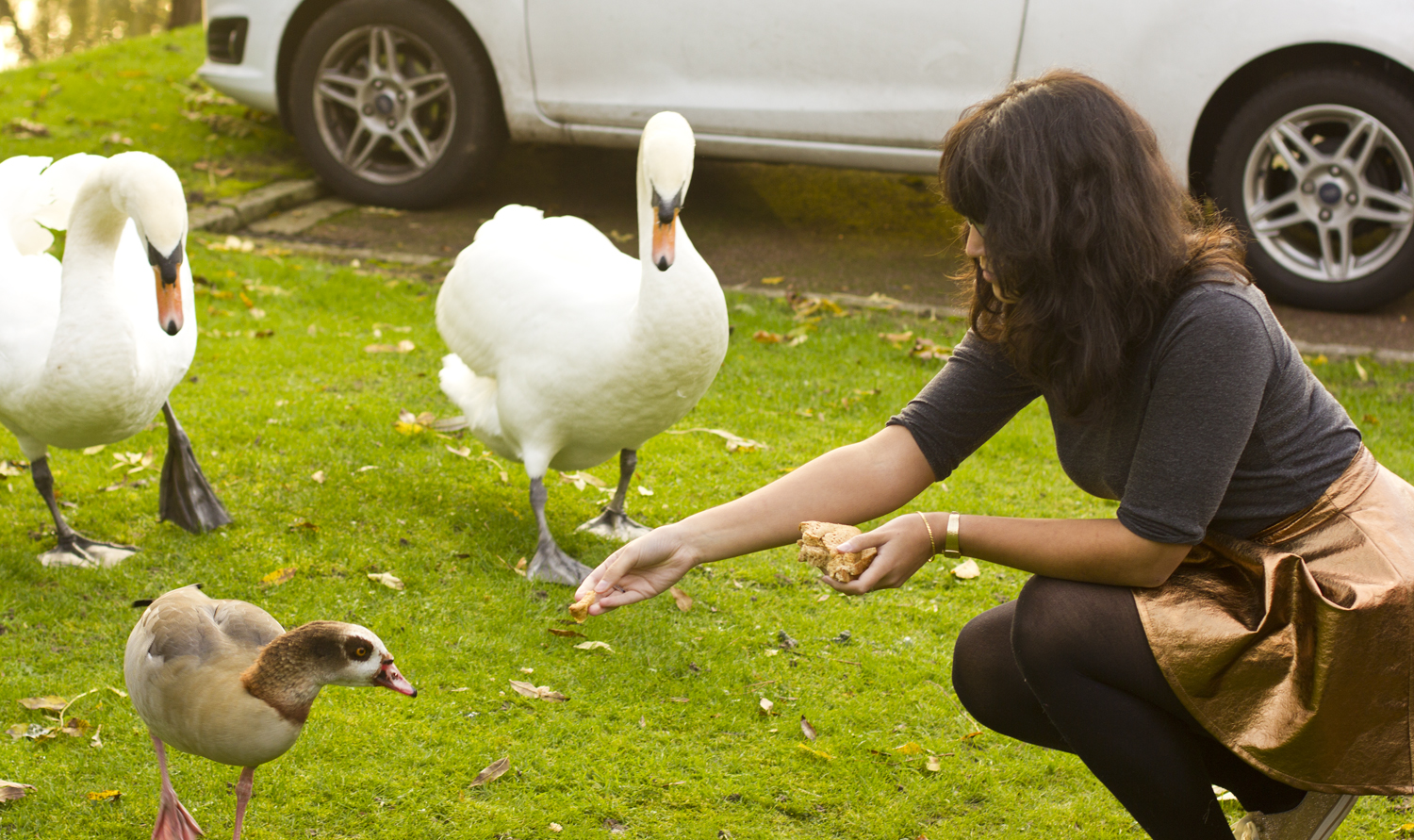 feeding swans girl outside egyptian geese mute swan uk outside exterior surrey green house