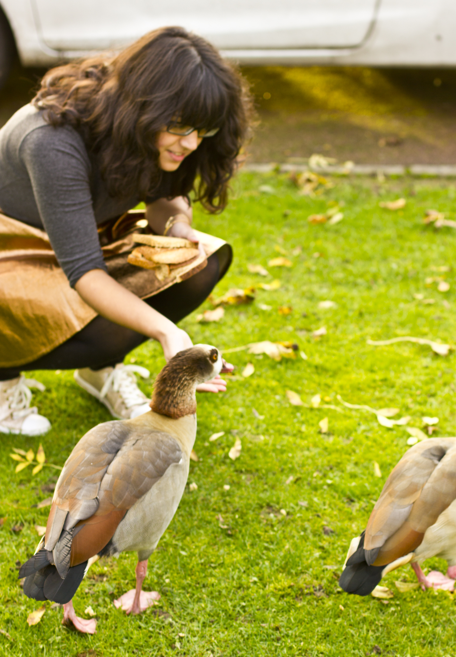 feeding egyptian geese outside